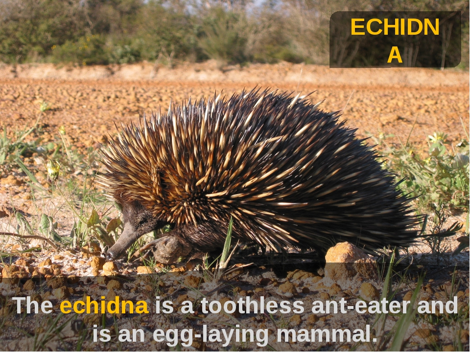 ехиднна ECHIDNA The echidna is a toothless ant-eater and is an egg-laying mam...