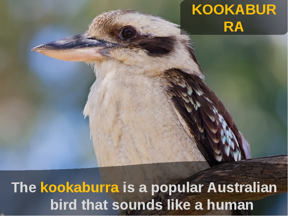 KOOKABURRA The kookaburra is a popular Australian bird that sounds like a hu...