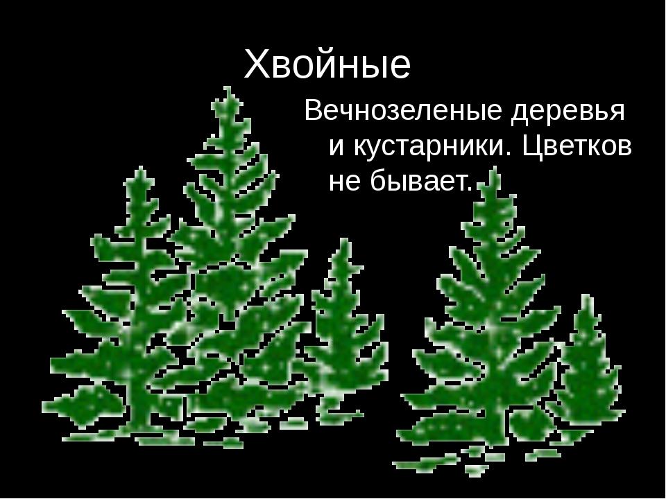 Хвойные Вечнозеленые деревья и кустарники. Цветков не бывает.