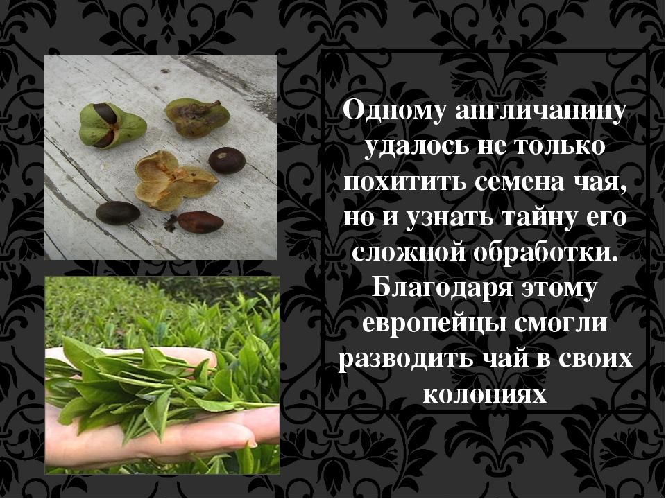 Одному англичанину удалось не только похитить семена чая, но и узнать тайну...