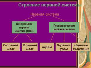 Строение нервной системы Нервная система Центральная нервная система (ЦНС) Пе