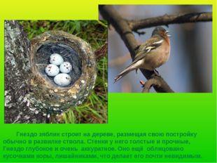 Гнездо зяблик строит на дереве, размещая свою постройку обычно в развилке ст