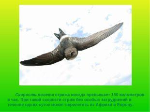 Скорость полета стрижа иногда превышает 150 километров в час. При такой скор