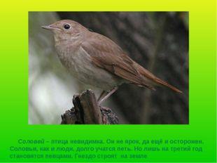 Соловей – птица невидимка. Он не ярок, да ещё и осторожен. Соловьи, как и лю
