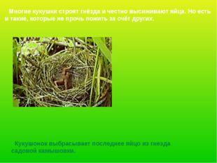 Многие кукушки строят гнёзда и честно высиживают яйца. Но есть и такие, кото