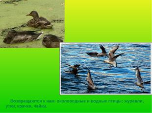 Возвращаются к нам околоводные и водные птицы: журавли, утки, крачки, чайки.