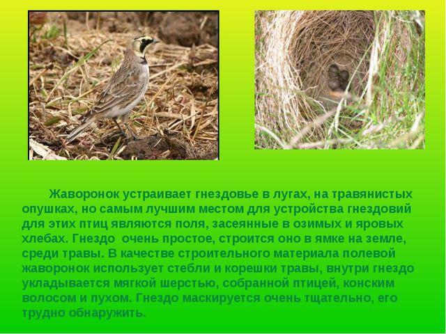 Жаворонок устраивает гнездовье в лугах, на травянистых опушках, но самым луч...