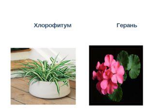 Хлорофитум Герань