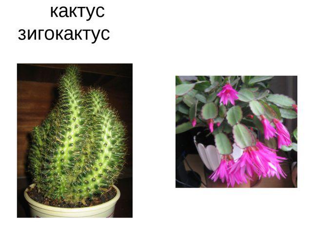 кактус зигокактус