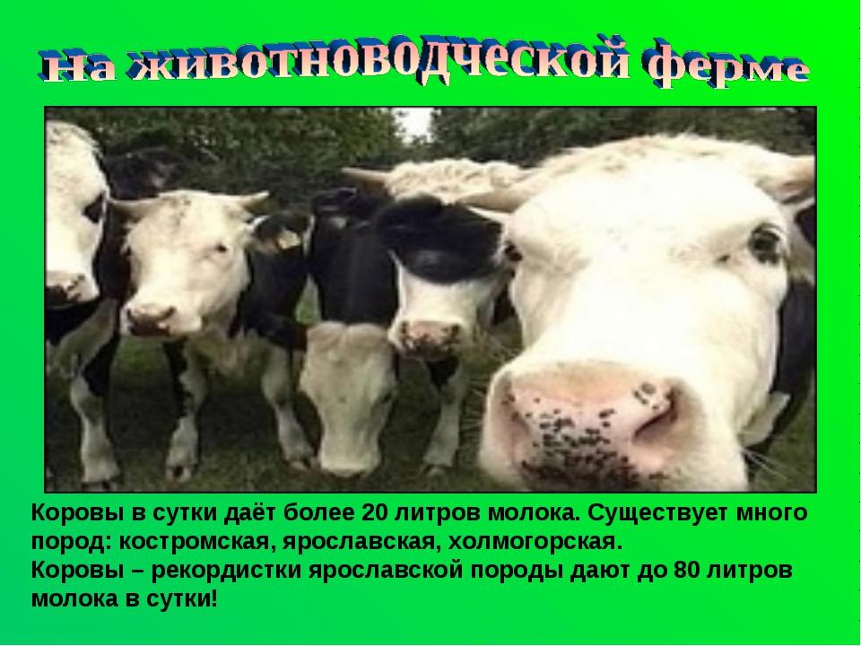 Вологодское молоко или популярные молочные породы крупного рогатого скота