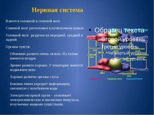 Нервная система Имеется головной и спинной мозг. Спинной мозг расположен в по