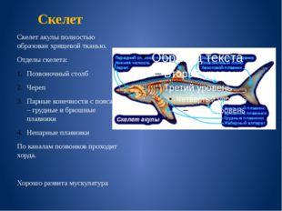 Скелет Скелет акулы полностью образован хрящевой тканью. Отделы скелета: Позв