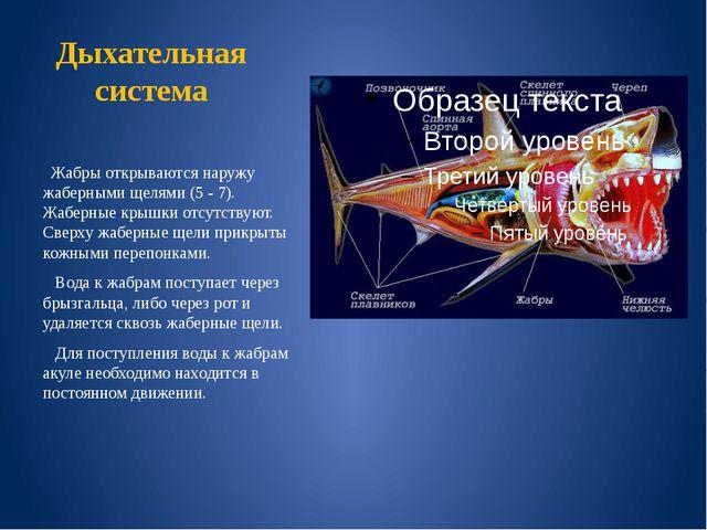 Дыхательная система Жабры открываются наружу жаберными щелями (5 - 7). Жаберн...