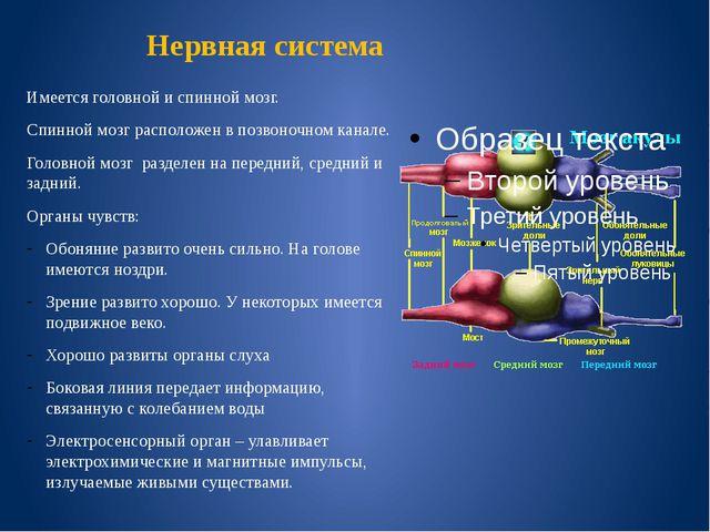 Нервная система Имеется головной и спинной мозг. Спинной мозг расположен в по...