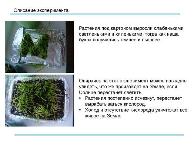 Описание эксперимента Растения под картоном выросли слабенькими, светленьким...