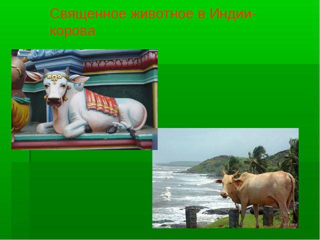 Священное животное в Индии-корова