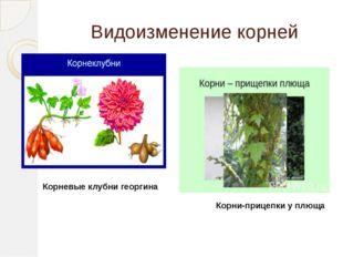 Видоизменение корней Корневые клубни георгина Корни-прицепки у плюща
