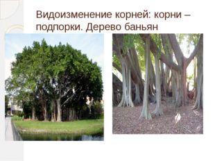 Видоизменение корней: корни – подпорки. Дерево баньян