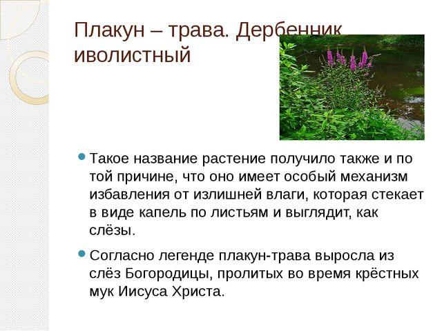 Плакун – трава. Дербенник иволистный Такое название растение получило также и...