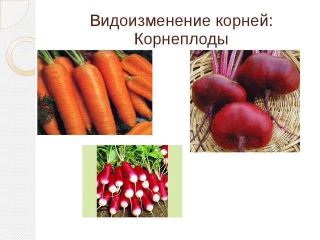 Видоизменение корней: Корнеплоды