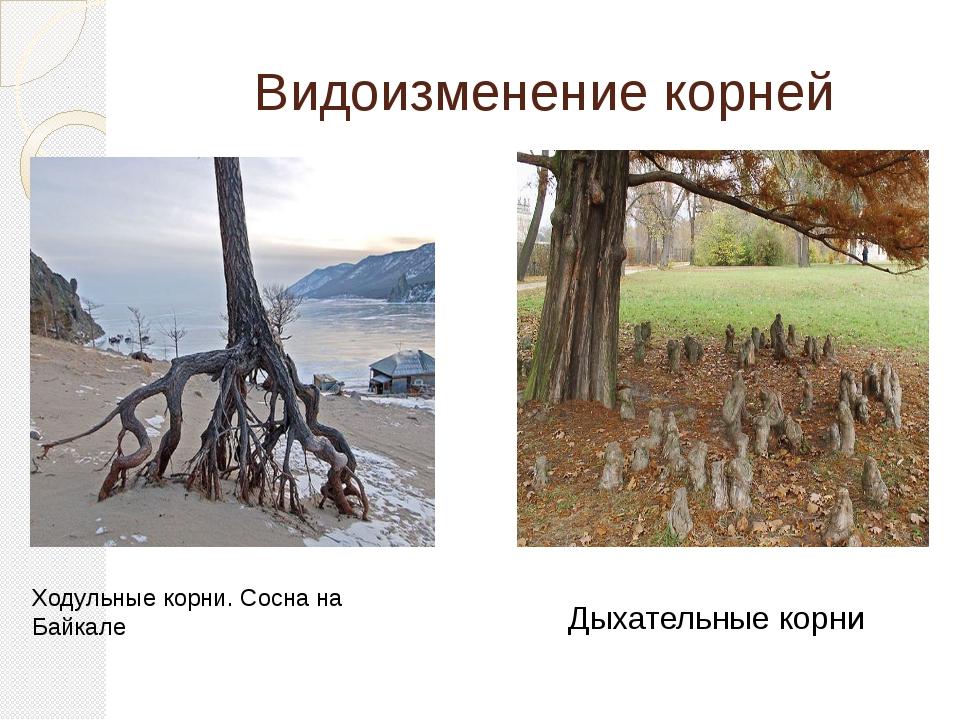 Видоизменение корней Ходульные корни. Сосна на Байкале Дыхательные корни