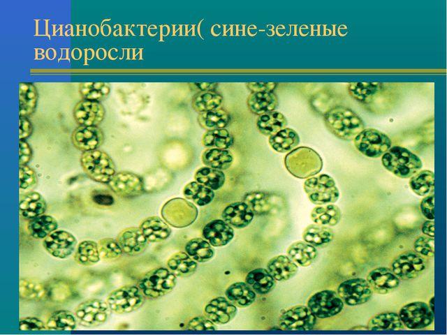 Цианобактерии( сине-зеленые водоросли