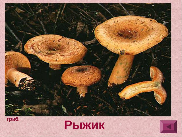 3.Шляпка 3-10 см в диаметре, плосковыпуклая, позднее широко-воронковидная, с...