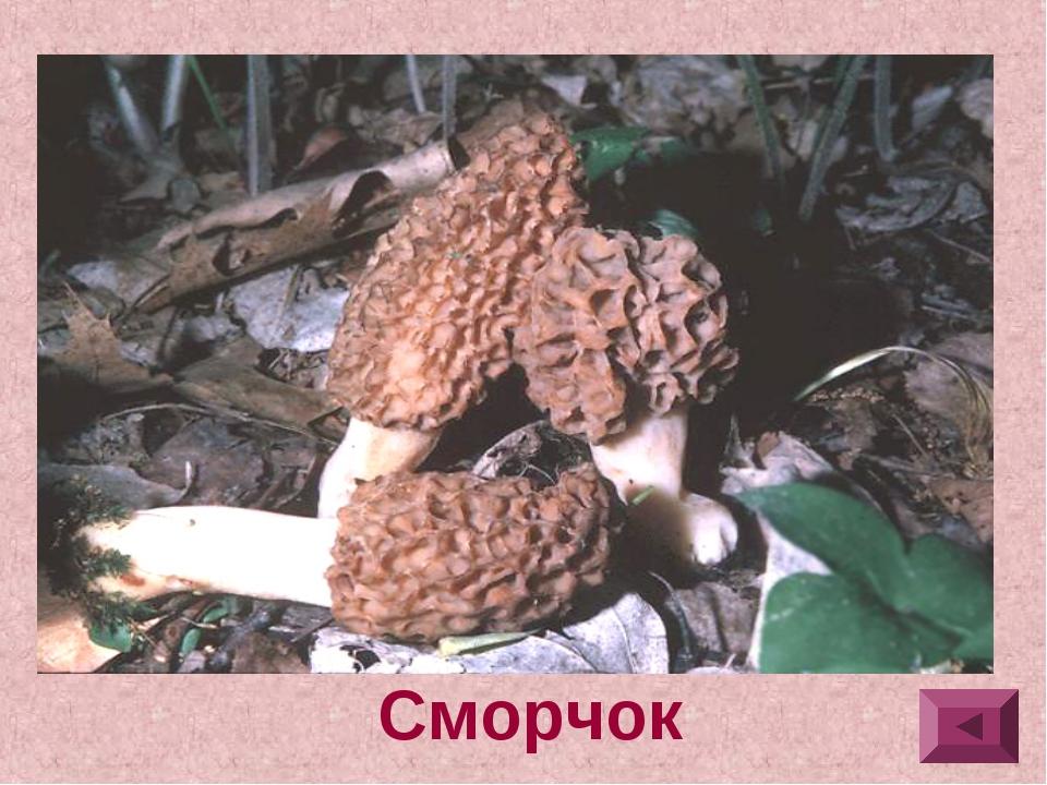 4.Шляпка яйцевидная, эллипсоидальная или коническая, с сетью продольных и по...