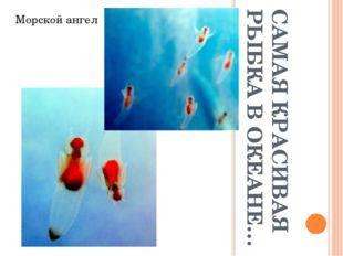 САМАЯ КРАСИВАЯ РЫБКА В ОКЕАНЕ… Морской ангел