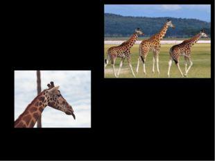 Жираф – самое высокое животное на Земле. Спутать это грациозное животное с дл