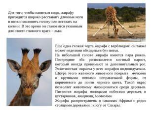 Ещё одна схожая черта жирафа с верблюдом: он также может неделями обходиться