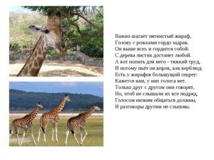 Важно шагает пятнистый жираф, Голову с рожками гордо задрав. Он выше всех и г