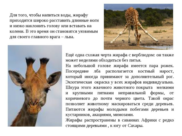 Ещё одна схожая черта жирафа с верблюдом: он также может неделями обходиться...