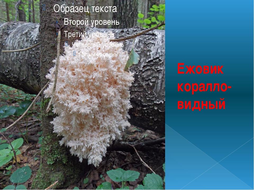 Ежовик коралло-видный