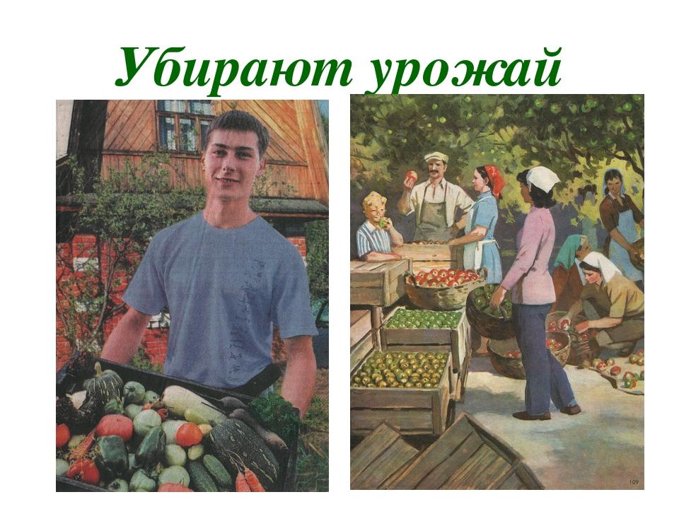 Убирают урожай