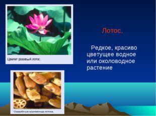 Лотос. Редкое, красиво цветущее водное или околоводное растение