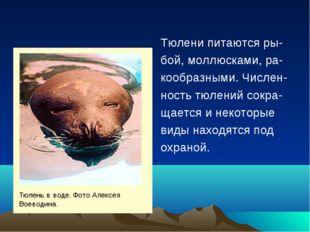 Тюлени питаются ры- бой, моллюсками, ра- кообразными. Числен- ность тюлений с