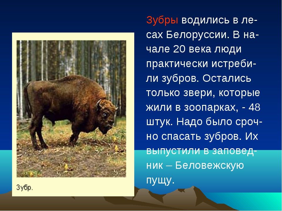 Зубры водились в ле- сах Белоруссии. В на- чале 20 века люди практически истр...