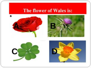 The flower of Wales is: