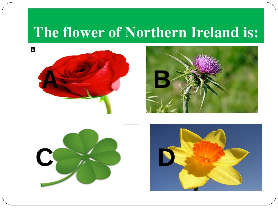 The flower of Northern Ireland is: