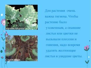 Для растения очень важна гигиена. Чтобы растение было ухоженным, а опавшие ли