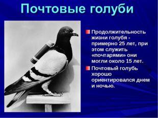 Продолжительность жизни голубя - примерно 25 лет, при этом служить «почтарями