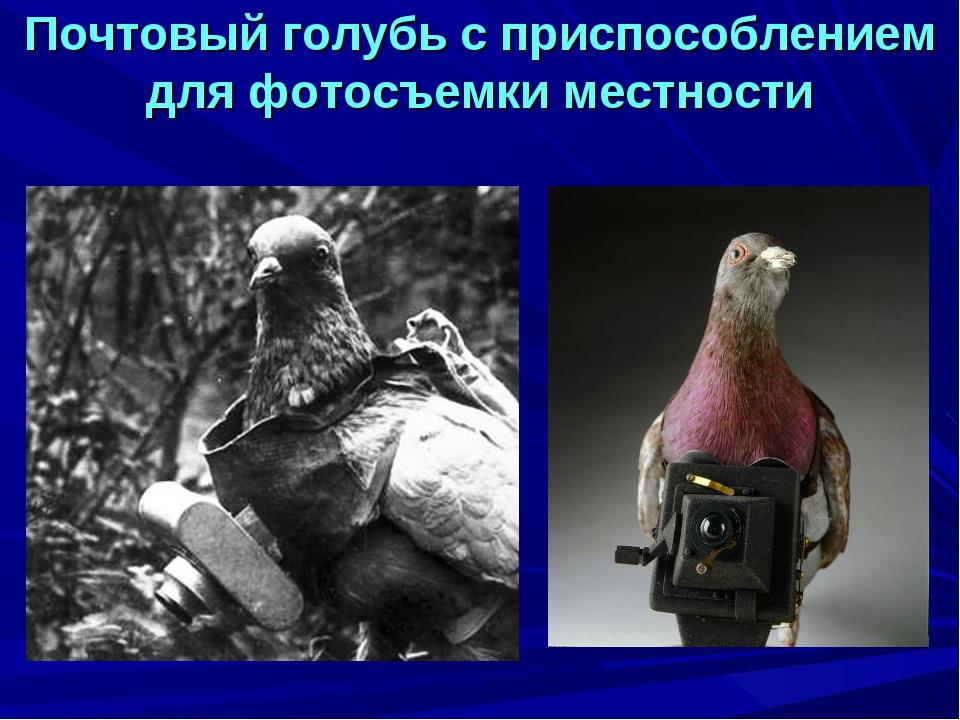 Почтовый голубь с приспособлением для фотосъемки местности
