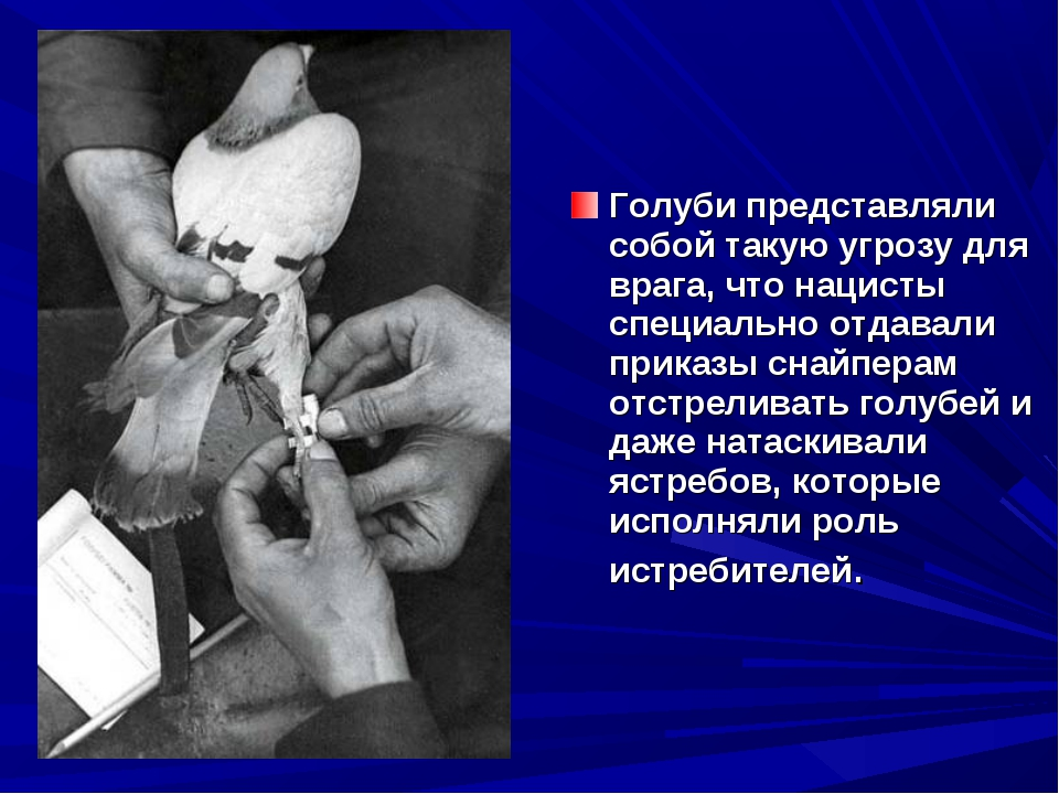 Голуби представляли собой такую угрозу для врага, что нацисты специально отда...