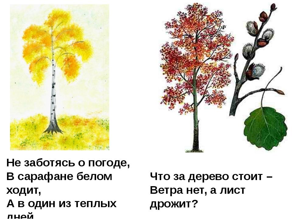 Что за дерево стоит – Ветра нет, а лист дрожит? Не заботясь о погоде, В сараф...