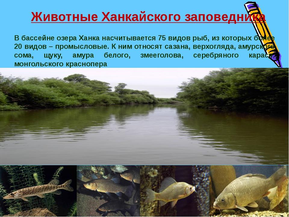 В бассейне озера Ханка насчитывается 75 видов рыб, из которых более 20 видов...