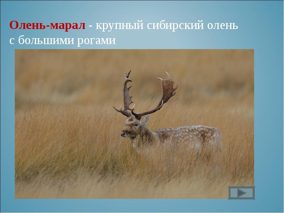 Олень-марал - крупный сибирский олень с большими рогами