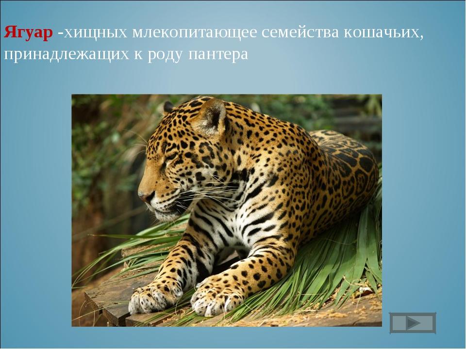 Ягуар -хищных млекопитающее семейства кошачьих, принадлежащих к роду пантера
