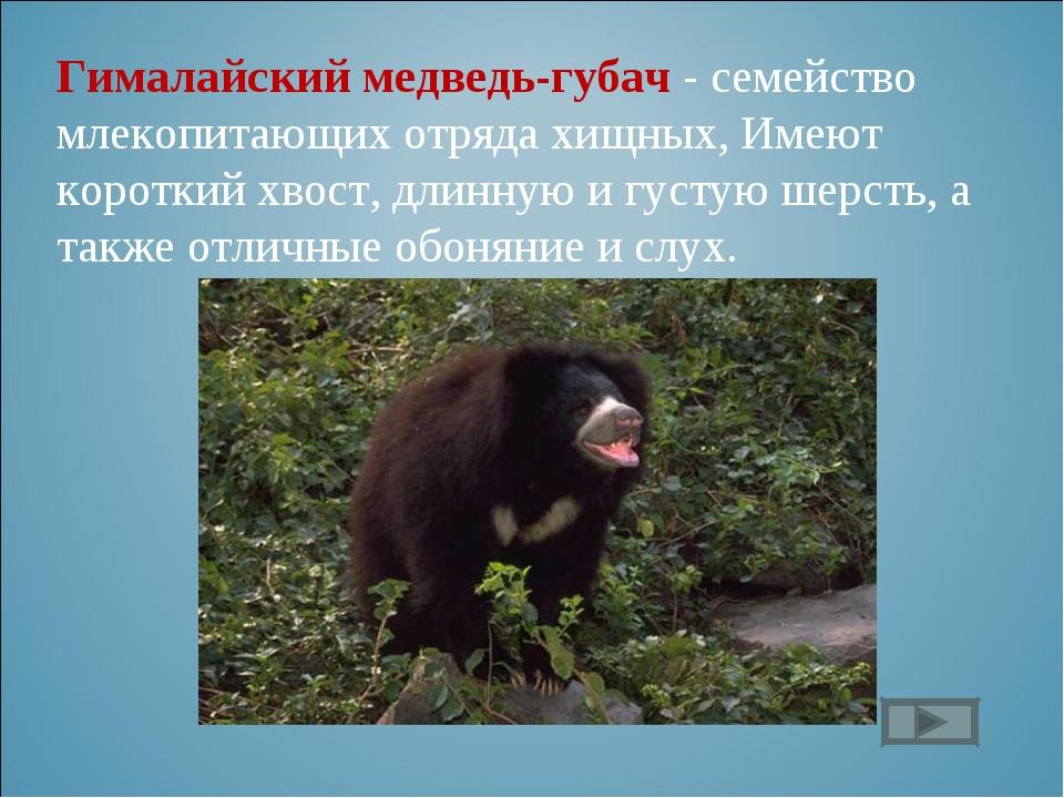Гималайский медведь-губач - семейство млекопитающих отряда хищных, Имеют коро...