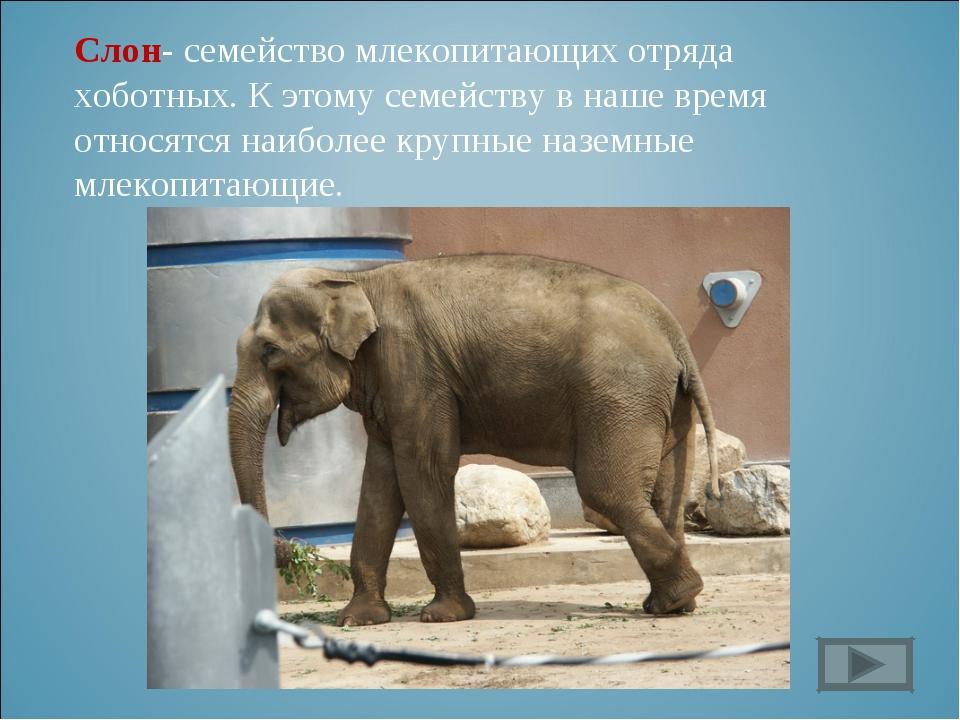 Слон- семейство млекопитающих отряда хоботных. К этому семейству в наше время...